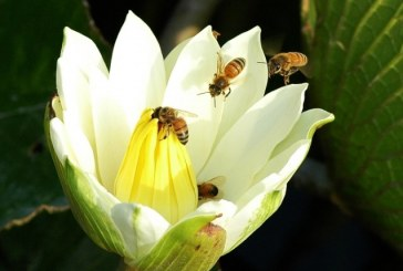 Svensk honung kan bli medicin