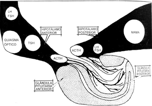 hipotalamo-pituitaria-hormonios-jornal-stop-84